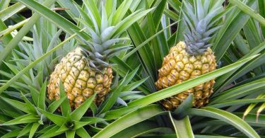 Abacaxi-benefícios-e