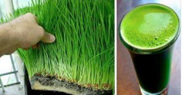 benefícios do suco de grama de trigo